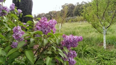 lilac and orchard